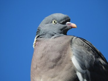 Beady eyed pigeon