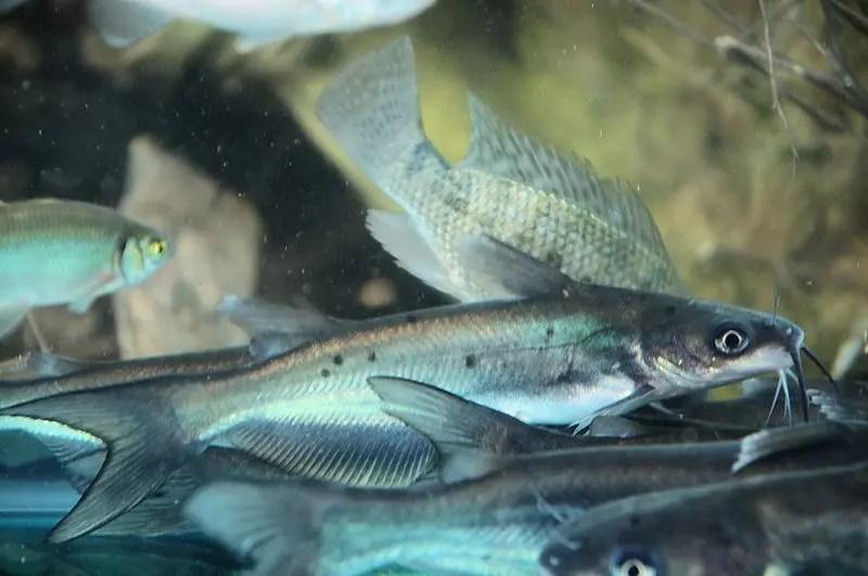 channel catfish blue catfish