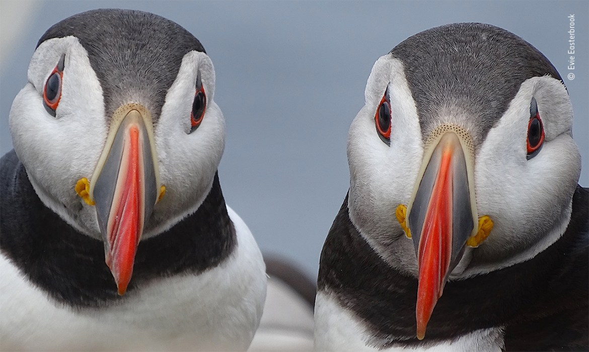 Paired-up puffins by Evie Easterbrook, UK