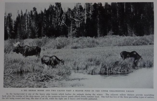 "Élans de la vallée de Yellowstone (alces shirasi). Photographie George Shiras, publiée dans ""Hunting wild life with camera and flashlight""."