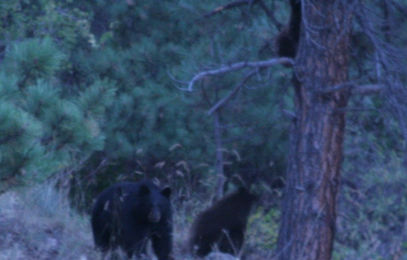 Mountain Lion and Bear Sightings (with Bear pics)