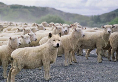 wolf-in-sheeps-clothing-32.jpeg