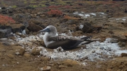 Nesting Blue Footed Boobie