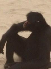 con-the-ape