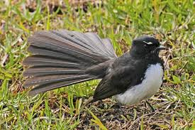 willy wagtail.png