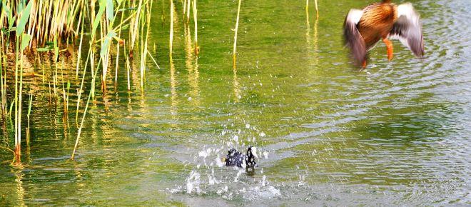 Wasserhuhn Gewinner über Ente