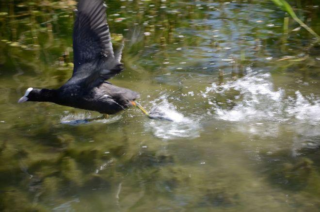 Wasserhuhn startet vom Wasser in den Flug