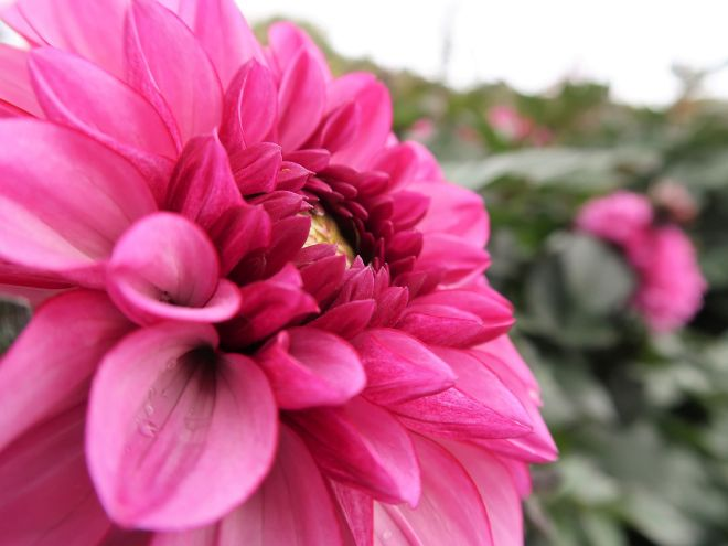 Dahlie pink