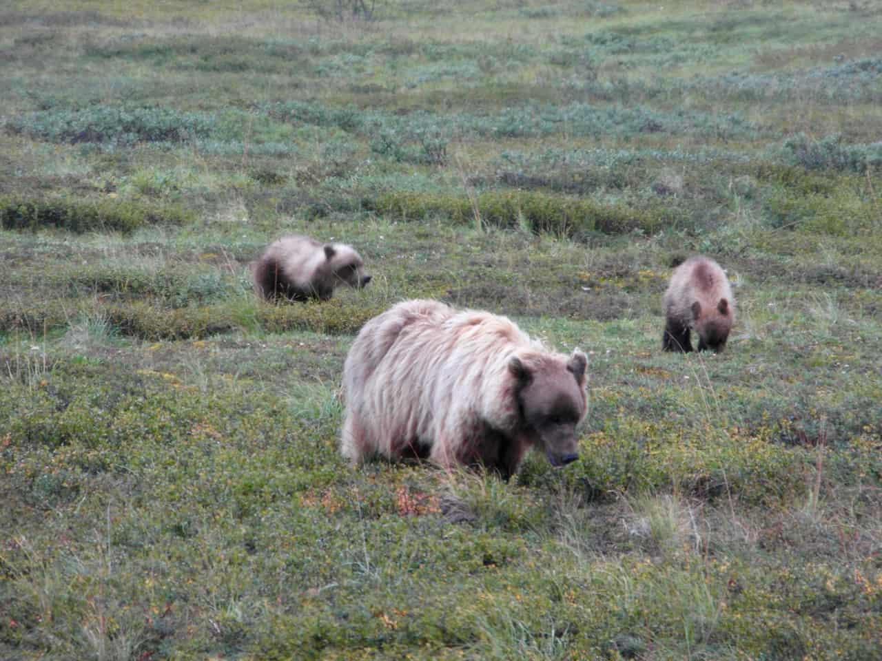 Grizzly beer met twee jongen