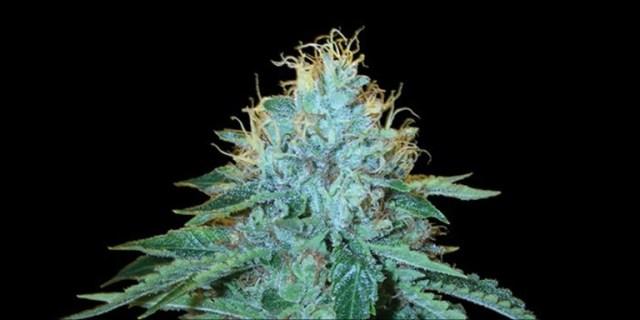 strongest hybrid strains: 8. OG #18