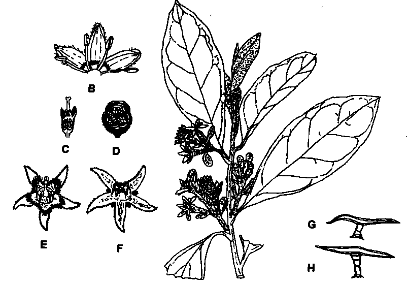 Anacardiaceae Diagram Of The Flower Floral Materials Of A Shipunov