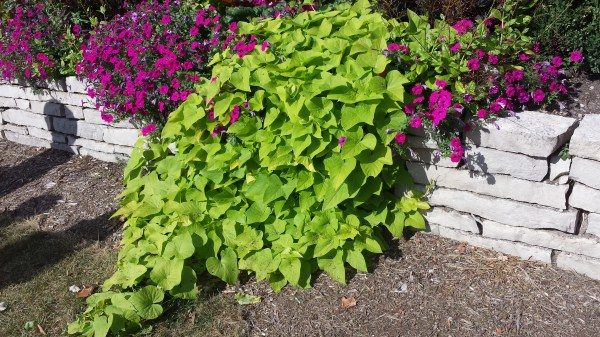 Sweet Potato Vine Plant