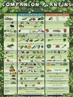 Charming Companion Planting Chart For Herbs And Vegetables Photo