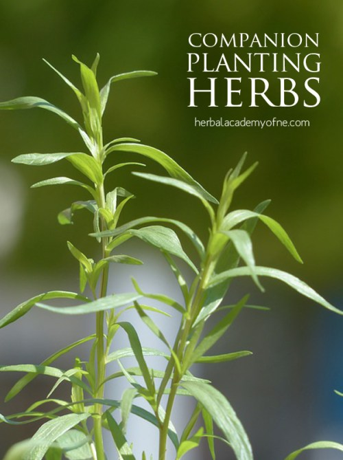 Companion Planting Herbs & Vegetables