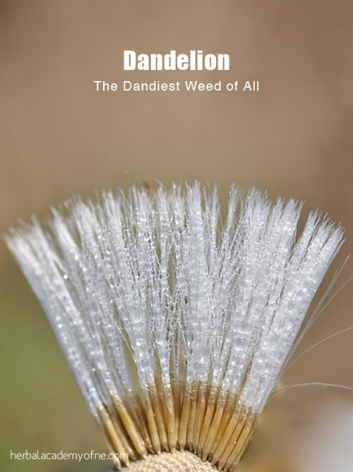 The Dandiest Weed of all -Dandelion Health benefits