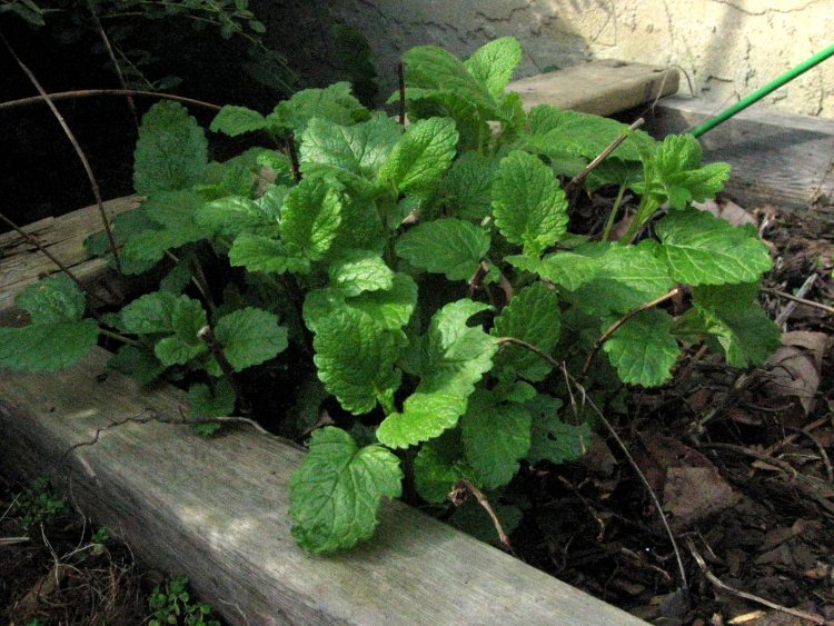 Young Lemon Balm for Headache Relief - Herbal Academy of New England