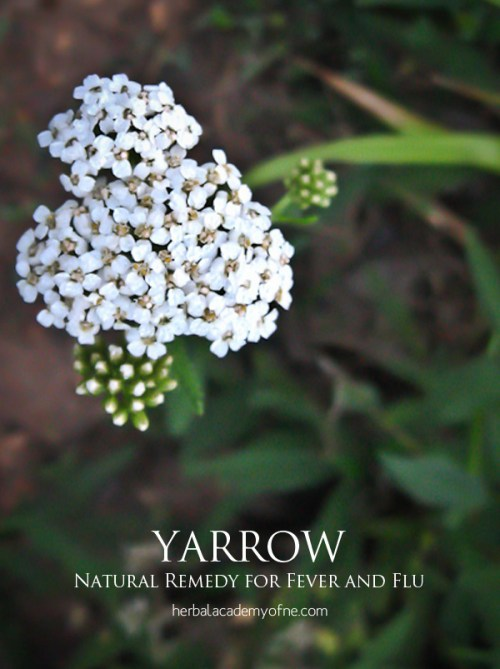 Yarrow - Natural Remedy for Fever and Flu