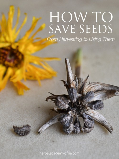 How to Save Seeds- Learn how to harvest seeds and how to use them- Herbal Academy of New England