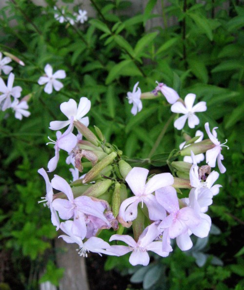 Natural Soapwort Shampoo recipe