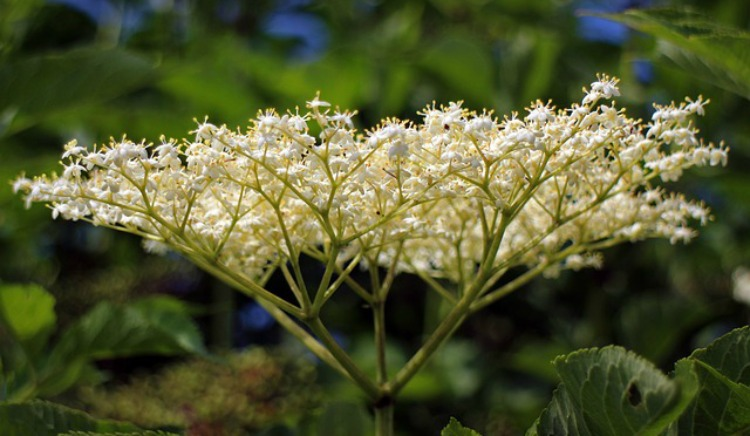The Joy Of Harvesting And Using Elder Flowers