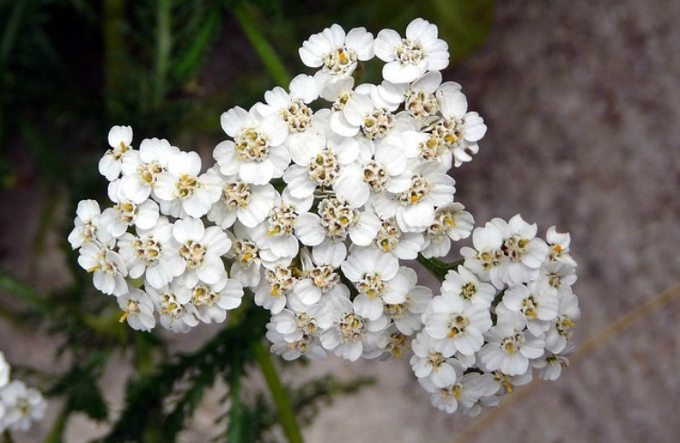 Natural Allergy Relief: Nasal Rinses, Eye Washes & Herbal Steams: yarrow