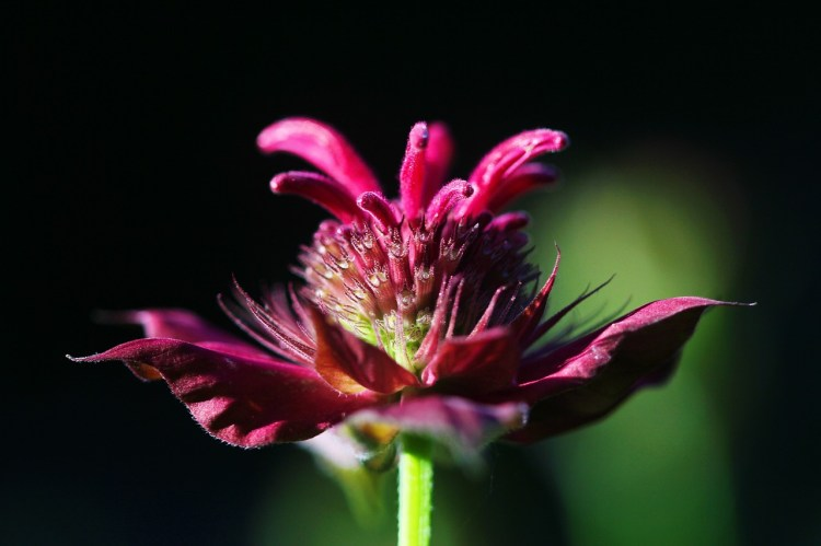 Benefits of Bee Balm or Monarda