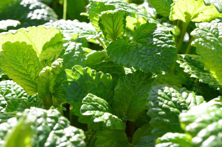 Herbal Support for Back to School: Lemon Balm
