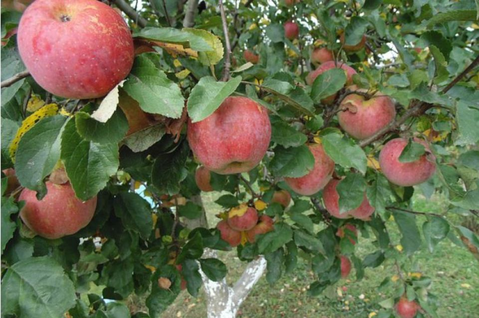 Harvest Time Apple Recipes: Apple Tea