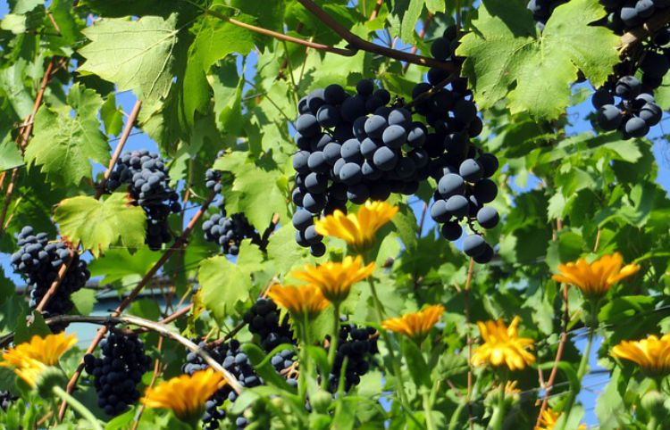 Benefits Of Grapes In A Tasty Herbal Syrup