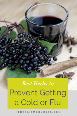 Learn about these beneficial herbs to prevent colds and flu. Herbal immune tonics are an important part of herbalism for staying healthy. #HerbsColds #HerbsFlu #ImmuneBoost #Elderberry #Echinacea #Herbalism #HerbalMedicine #HerbalismCourses #OnlineHerbalCourse