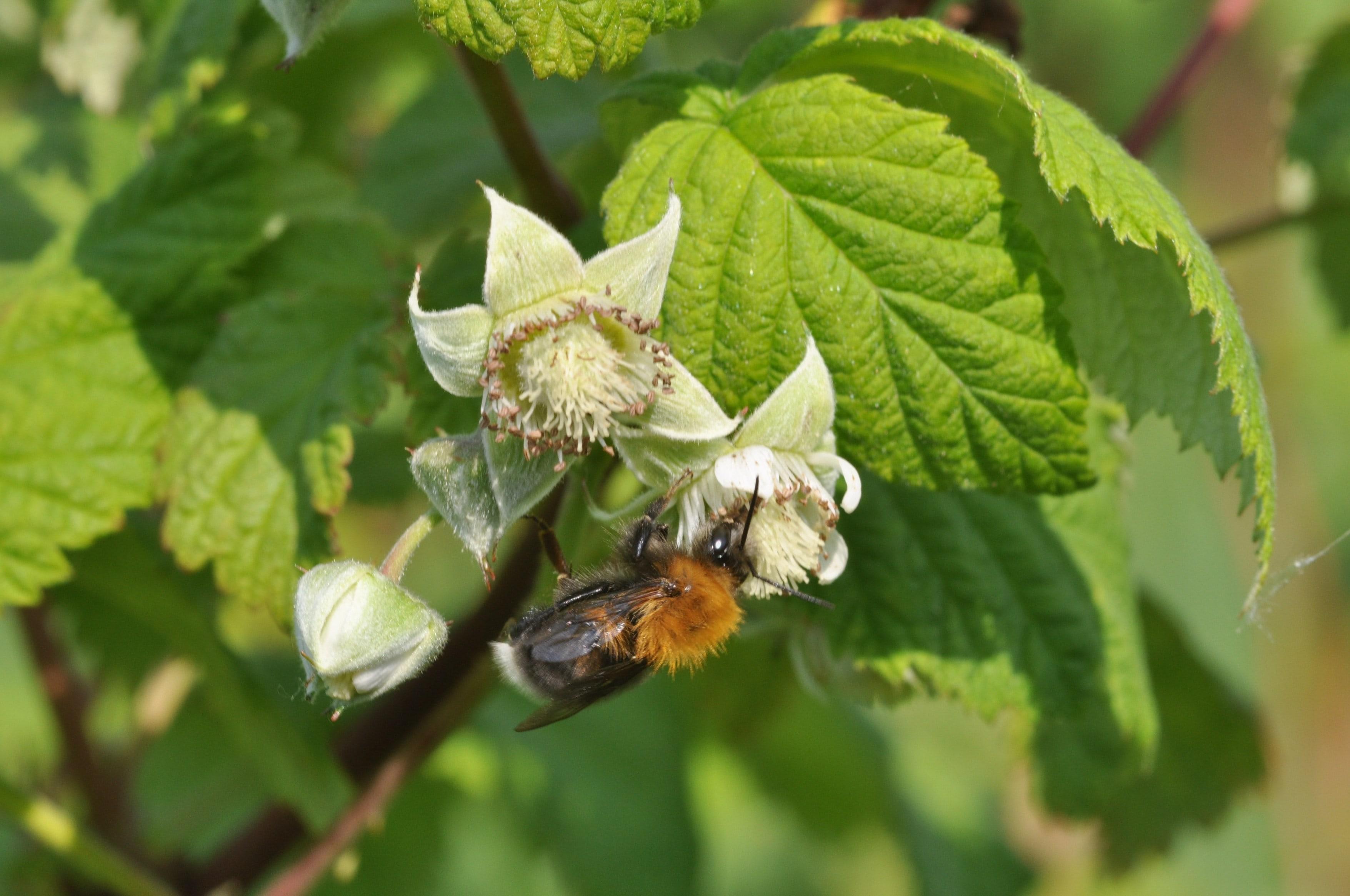 Raspberry Leaf – Herbal Spirits