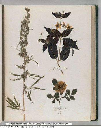 Emily Dickinson's herbarium c. 1836-1849 (MS Am 1118.11, Houghton Library © President and Fellows of Harvard College)