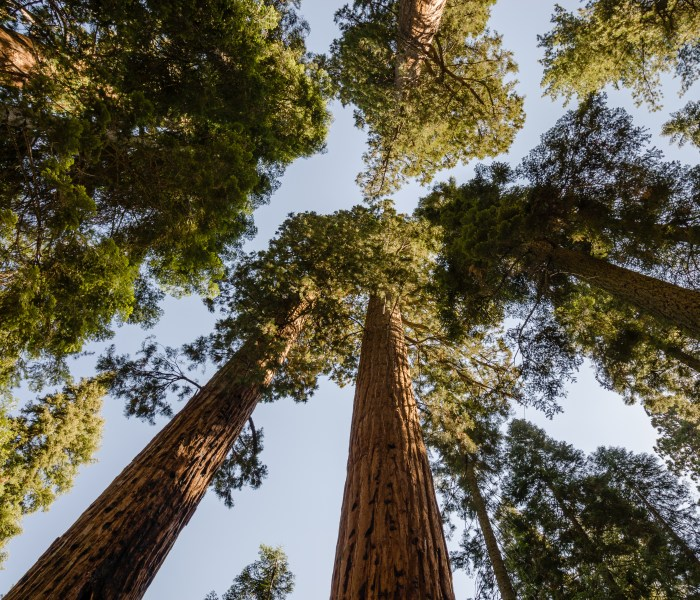 Small Story- Big Life: The Giant Sequoia