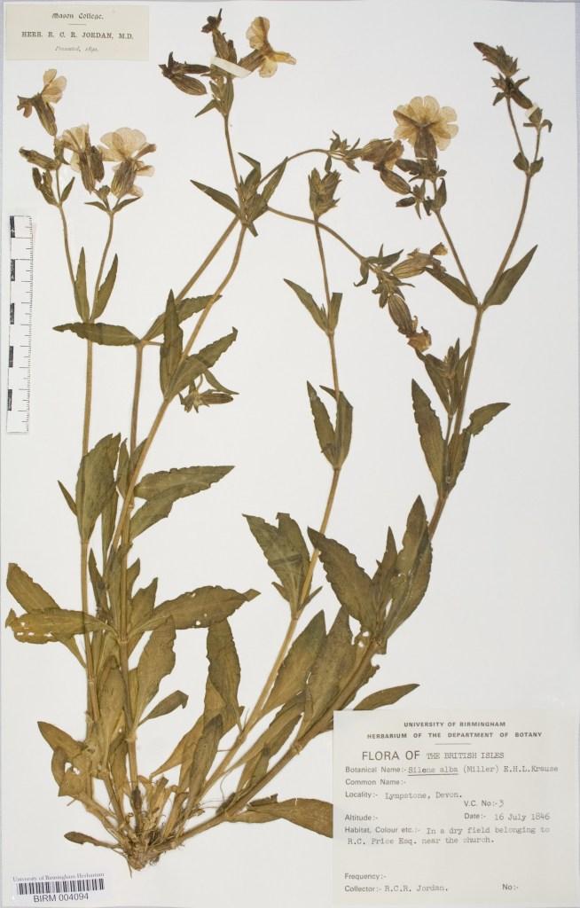 Spring flower. Silene latifolia. Herbarium specimen collected in 1846 in South Devon, UK, by Dr. Robert Coane Roberts Jordan.  Image courtesy of Botanical Society of Britain and Ireland.
