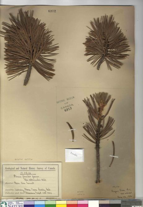 Herbarium image of Alberta pines. Whitepine. Pinus albicaulis