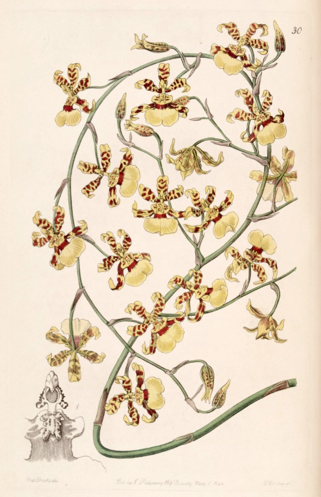 Oncidium sphacelatum, pictured here in an 1842 image from Edwards's Botanical Register (v 28 plate 30), by Miss Drake (1803-1857)