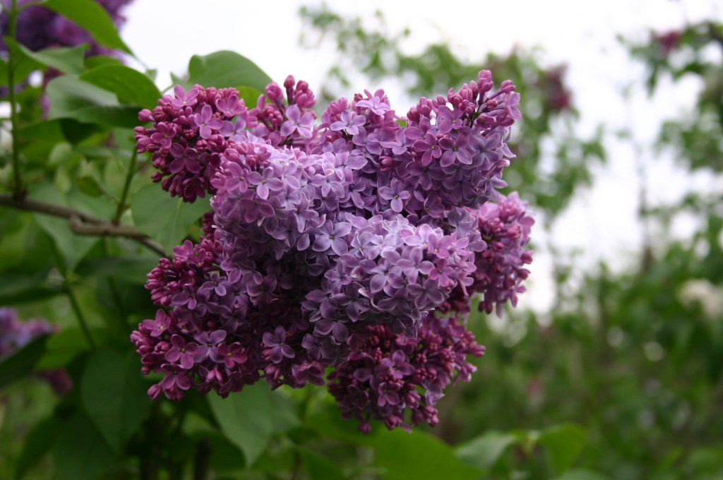 "Lilac. Common lilac, Syringa vulgaris ""Congo"" Oleacea Taken at the New York Botanical Gardens in the Bronx. Image Credit: Ryan Somma"
