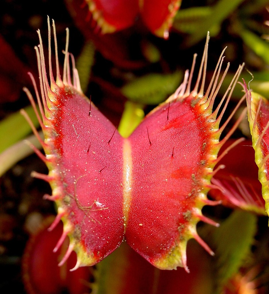 Image of Venus fly trap. Introduces description of experiments by Mary Treat.