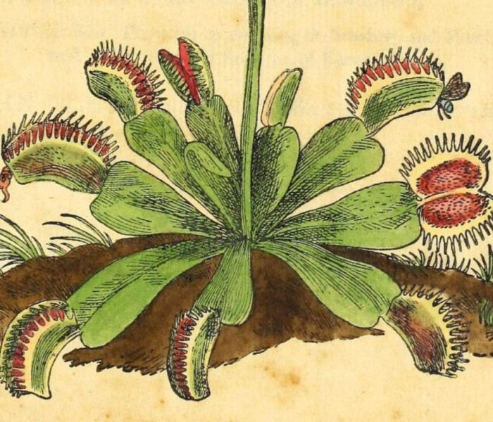 The Jaws of Death: Venus fly trap