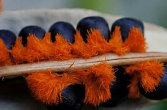Seeds of Bird of Paradise. Photo credit: Tatiana Gerus
