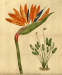 Botanical illustration of Strelitzia reginae, Bird of Paradise.