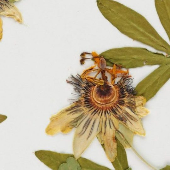 Existential Passionflower
