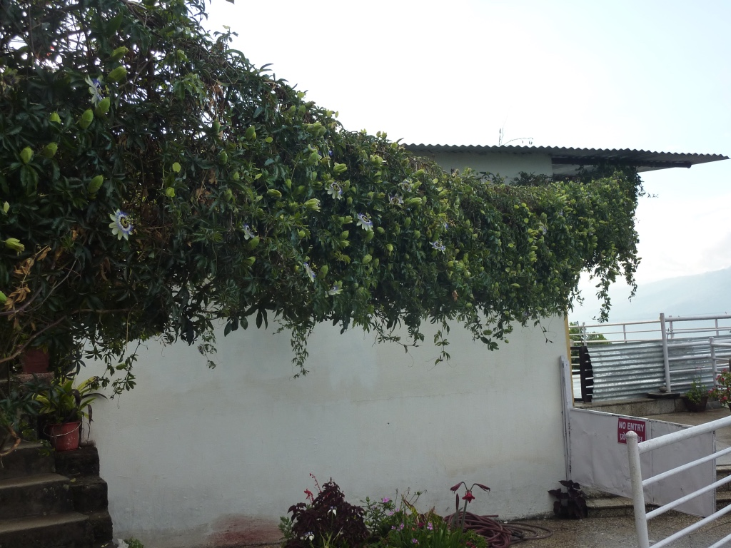 A spreading passionflower vine next to a building.