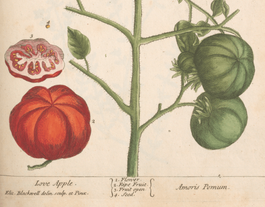 "Elizabeth Blackwell's ""Love Apples"""