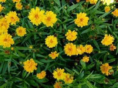 coreopsis_grandiflora_%22heliot%22_2