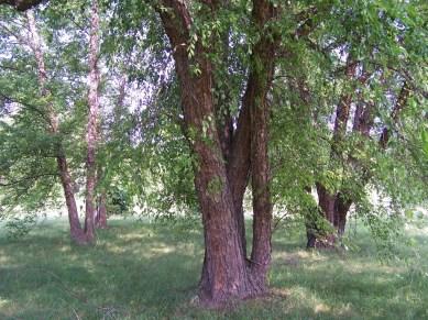 betula_nigra