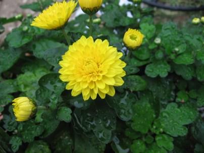 chrysanthemum_x_grandiflorum_04