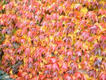 parthenocissus_tricuspidata_green_spring_17_oktober