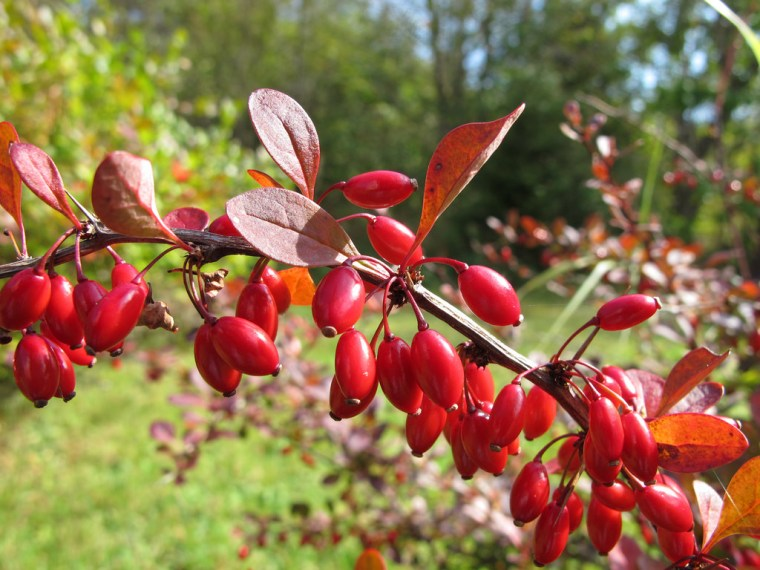 rose-glow-barberry-3