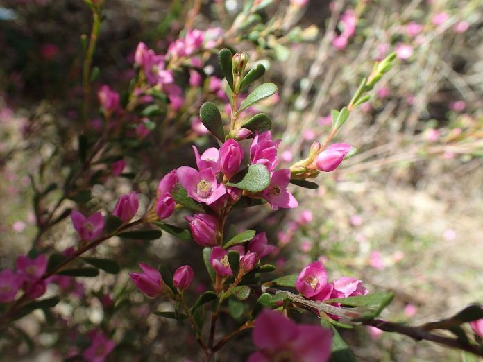 boronia_crenulata_leaves_and_flowers